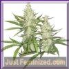 Dutch Passion Outlaw Female 10 Seeds